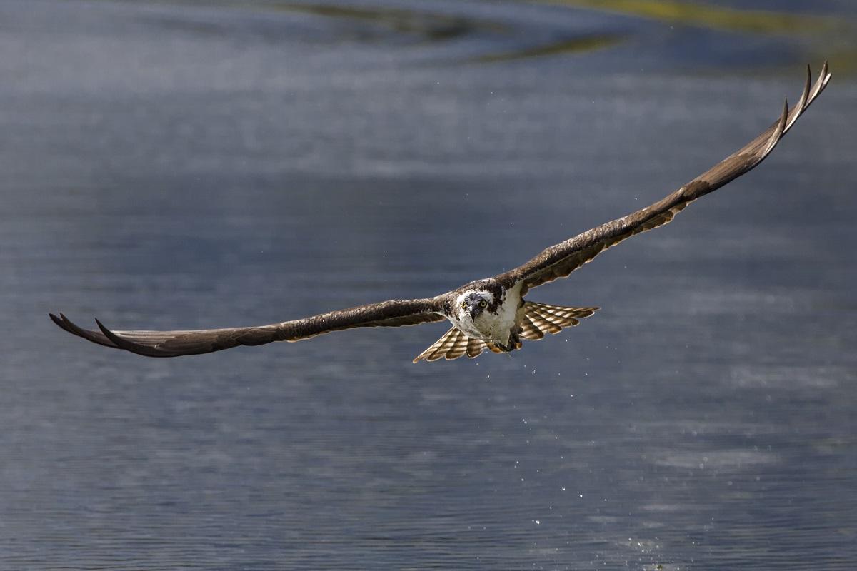 Oiseau Ecosse